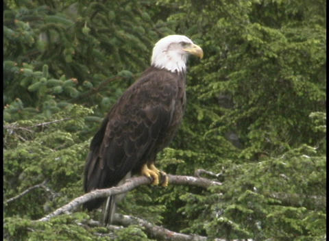 An American bald eagle sits on a tree branch in Alaska Footage