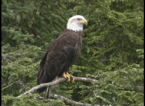 An American bald eagle sits on a tree branch in Alaska Stock Video Footage