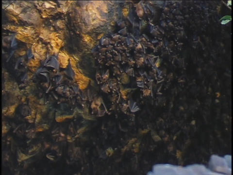 Bats hang from a cave ceiling in Bali, Indonesia Stock Video Footage