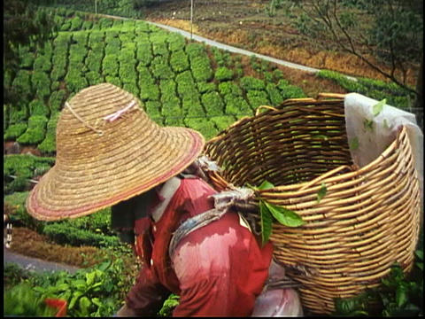 A woman harvests tea leaves in Malaysia Footage