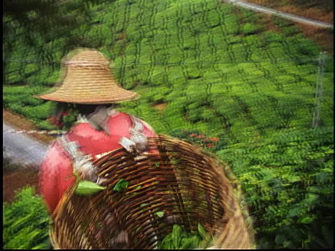 A woman harvests tea leaves in Malaysia Stock Video Footage