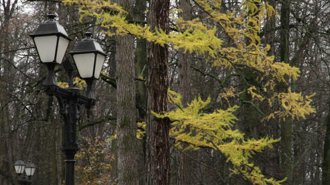 yellow larch Stock Video Footage