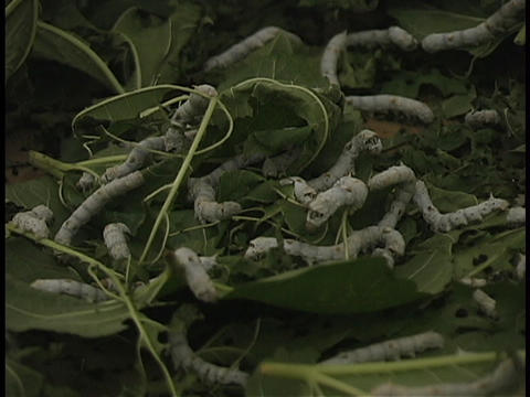 Silkworms eat white mulberry leaves Stock Video Footage