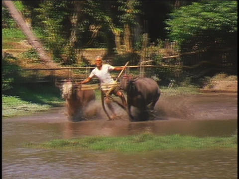 A contestant participates in a water buffalo race in... Stock Video Footage