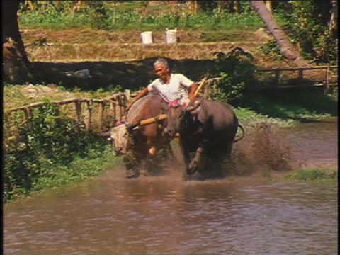 A contestant participates in a water buffalo race in Sumbawa, Indonesia Footage