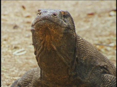 A Komodo dragon flick its tongue and swallows Stock Video Footage