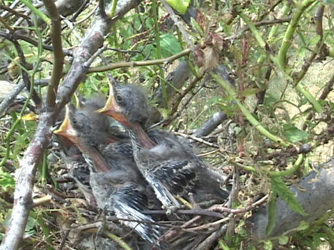 Baby birds eagerly open their mouths for food brought by... Stock Video Footage