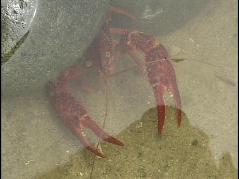 A red crayfish looks out from under a rock Footage