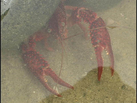 A red crayfish looks out from under a rock Stock Video Footage