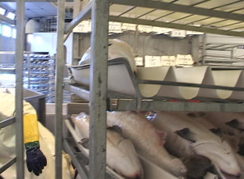 Following a worker placing salmon on a steel rack Stock Video Footage