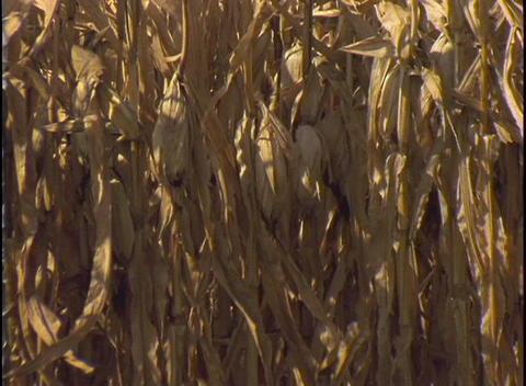 A farmer drives a combine through a field of corn Stock Video Footage