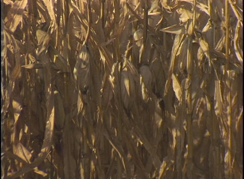 A farmer drives a combine through a field of corn Footage