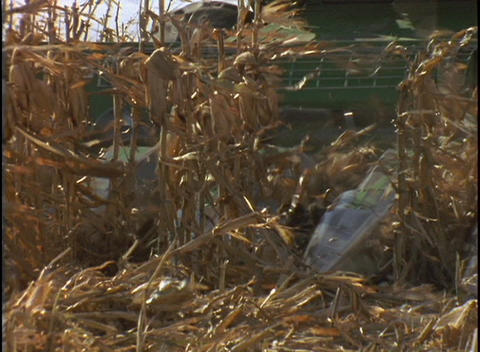 A farmer drives a combine machine cutting down rows of corn stalks Footage