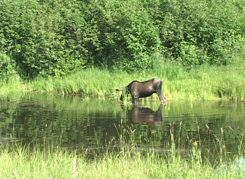 An airplane flies over a moose as it wades through a shallow pond at Anchorage's airport Footage