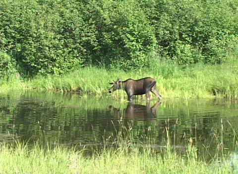 An airplane flies over a moose as it wades through a... Stock Video Footage