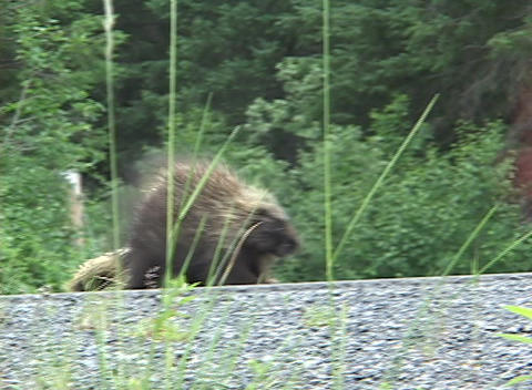 A porcupine starts to cross a road and turns around Stock Video Footage