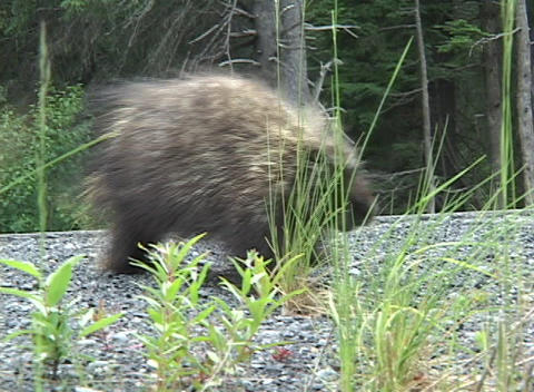 A porcupine starts to cross a road and turns around Footage