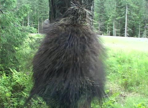 A porcupine climbs a tree Live Action