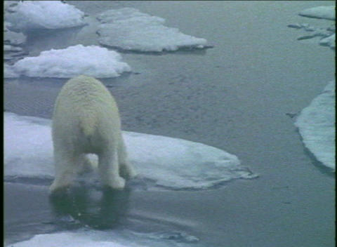 A polar bear runs across ice floes Stock Video Footage