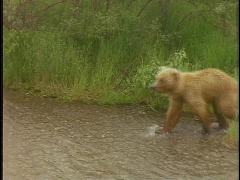 A baby bear follows its mother into a river Stock Video Footage
