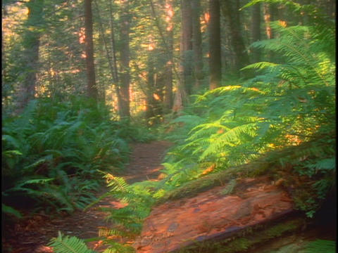 A trail runs through a lush redwood forest in California Stock Video Footage