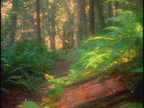 A trail runs through a lush redwood forest in California Live Action