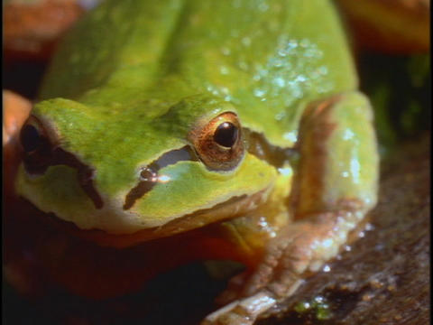 A green tree frog sits very still Stock Video Footage