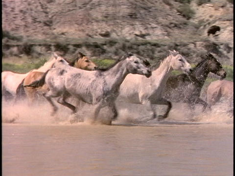Horses run through shallow water Stock Video Footage