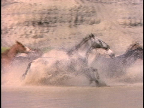 Horses run through shallow water Footage