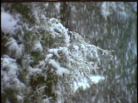 Heavy snow falls in an evergreen forest Stock Video Footage