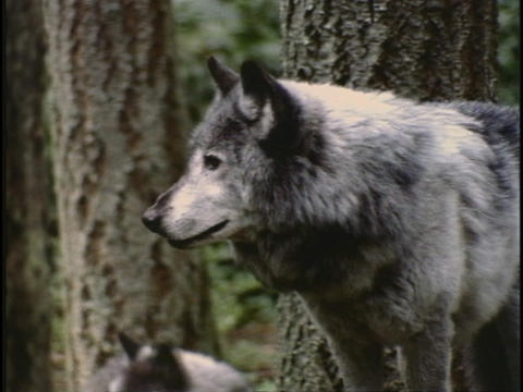 wolves stand in a forest Stock Video Footage