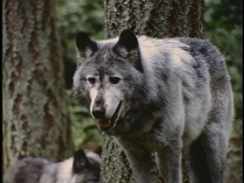 wolves stand in a forest Footage