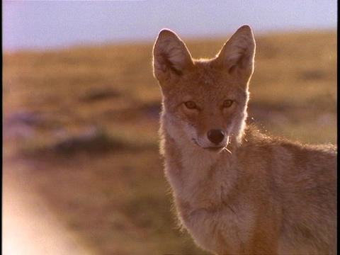 A fox alertly observes its surroundings Footage
