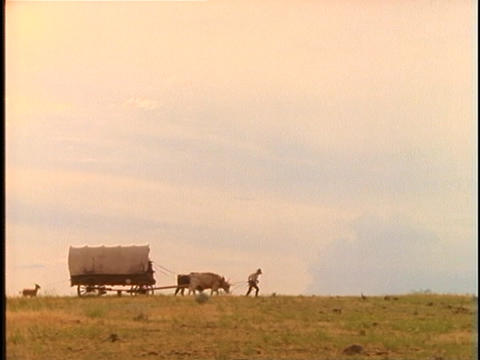 Pioneers walk with livestock and covered wagons across a prairie Footage