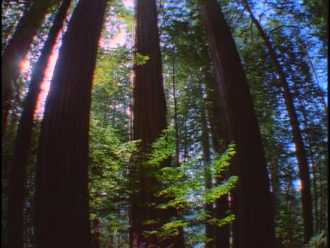 Tall, redwood trees reach up to a blue sky Footage