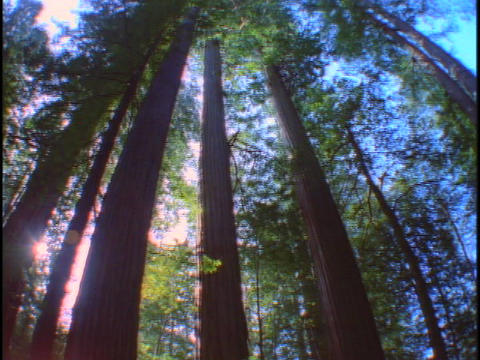 Tall, redwood trees reach up to a blue sky Stock Video Footage