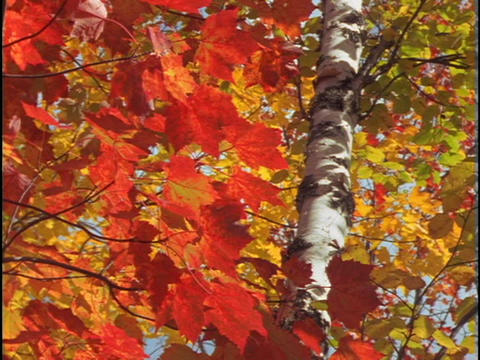 Brilliant red and gold leaves sway in the wind Stock Video Footage