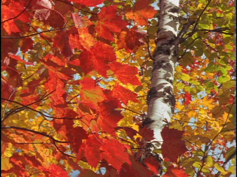 Brilliant red and gold leaves sway in the wind Footage