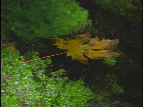 An autumn leaf floats down a stream Stock Video Footage