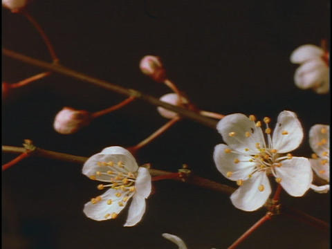Pale, pink flower buds on a stem, open into blossoms Stock Video Footage