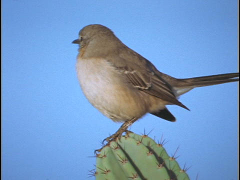 A cactus wren stands on a cactus and sings Stock Video Footage