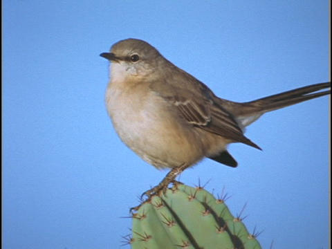 A cactus wren stands on a cactus and sings Footage