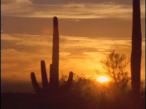 Saguaro cactus rise tall against a golden sky Footage