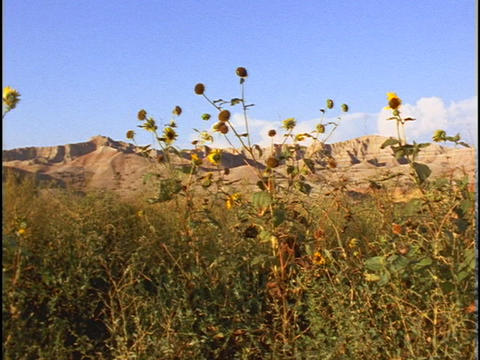Sandstone cliffs rise beyond yellow wildflowers Stock Video Footage