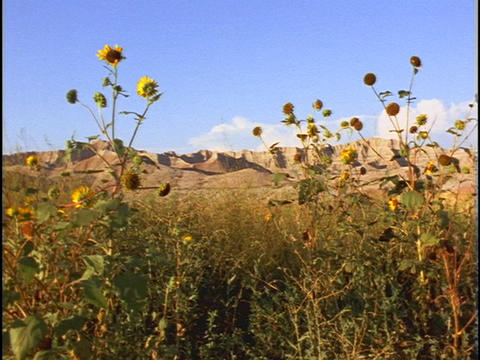 Sandstone cliffs rise beyond yellow wildflowers Footage