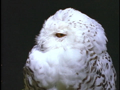 A white snow owl turns twists its head from side to side Stock Video Footage