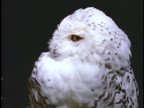 A white snow owl turns twists its head from side to side Footage