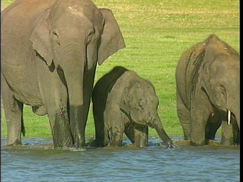 A family of Asian elephants drinks from a river Live Action