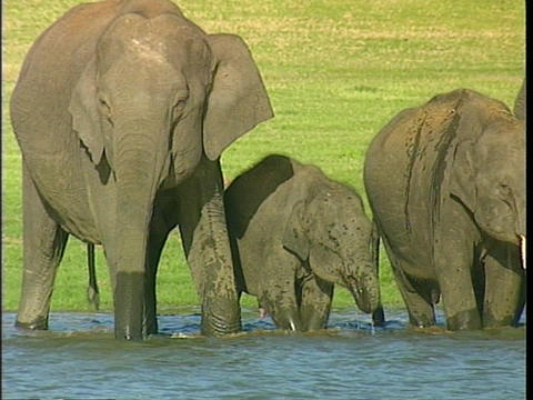 A family of Asian elephants drinks from a river Stock Video Footage