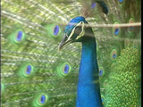 A peacock displays its spread tail-feathers Footage